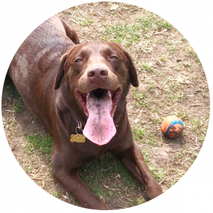 brown dog with tongue out