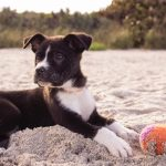 short-coated black and white puppy playing on gray sands